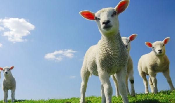 1 Koyunun Yıllık Maliyeti