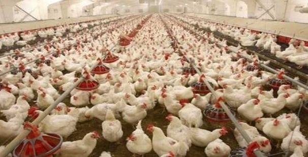 Tavuk Çiftliği Kredisi Nasıl Alınır