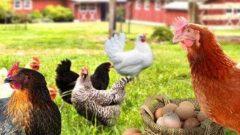 Tavuk Çiftliği Kredisi Veren Bankalar 2019 Devlet Desteği