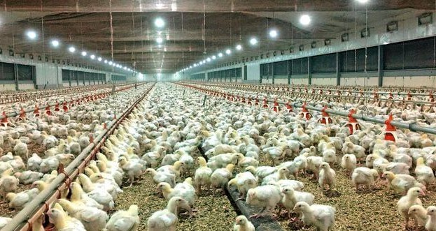Tavuk Çiftliği Projesi