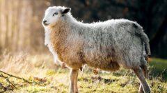 Ziraat Bankası Küçükbaş Koyun Kredisi 2019 Şartları
