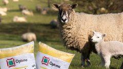 1 Koyun Kaç Kg. Yem Yer? Yıllık Maliyet Hesaplaması