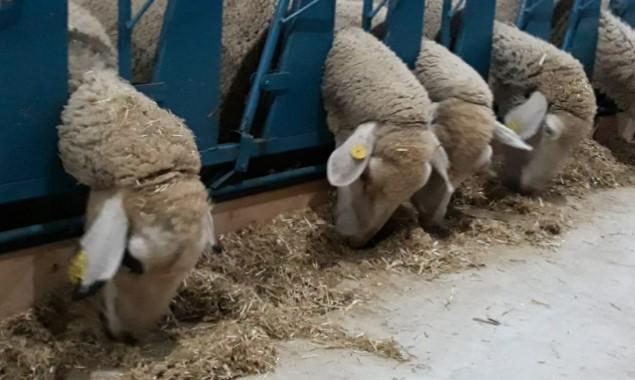 1 Koyunun Yıllık Yem Maliyeti