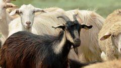 Anaç Koyun Keçi Küçükbaş Hayvan Desteklemeleri 2019 2020