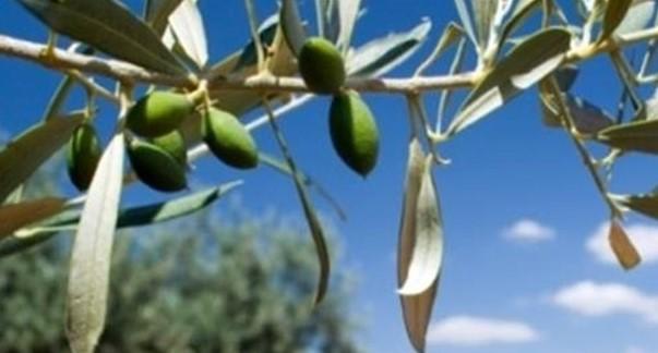 Geleneksel Zeytin Bahçelerinin Rehabilitasyonu Desteği