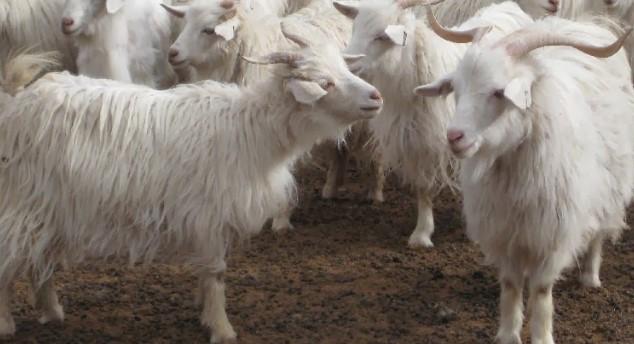 Keçi Yetiştiriciliği Nasıl Yapılır?