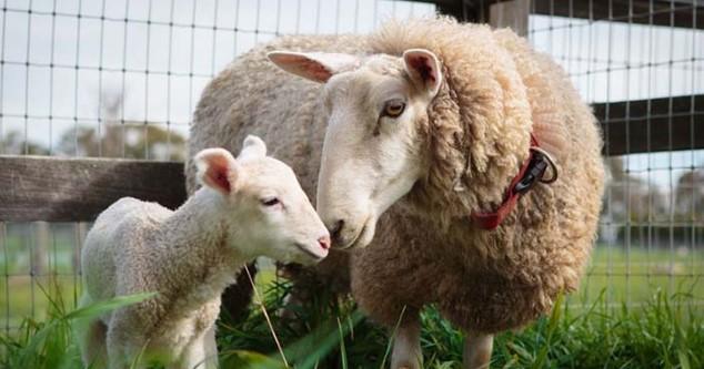 Koyun Yılda Kaç Kez Doğurur?