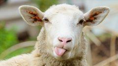 Ziraat Bankası 50-100 Koyun Kredisi Hesaplama